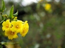 Primo piano dei fiori gialli con le foglie verdi in un giardino della farfalla in Santa Barbara California Obiettivo macro con bo Immagini Stock