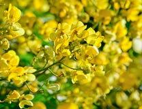 Primo piano dei fiori gialli sull'albero (fuga di siamea della senna) Immagine Stock