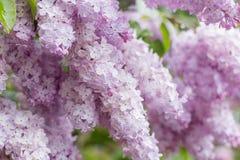 Primo piano dei fiori lilla rosa Immagini Stock Libere da Diritti