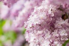 Primo piano dei fiori lilla rosa Fotografie Stock