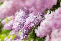 Primo piano dei fiori lilla rosa Fotografie Stock Libere da Diritti