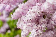 Primo piano dei fiori lilla rosa Fotografia Stock Libera da Diritti