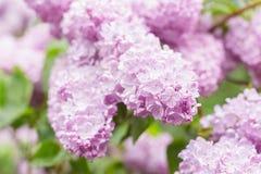 Primo piano dei fiori lilla rosa Fotografia Stock