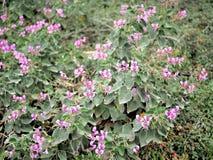 Primo piano dei fiori rosa con le foglie verdi nel giardino della farfalla a Santa Barbara California Obiettivo macro con bokeh p Fotografia Stock
