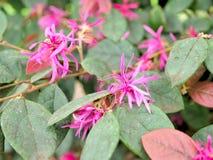 Primo piano dei fiori rosa con le foglie verdi nel giardino della farfalla a Santa Barbara California Obiettivo macro con bokeh p Immagini Stock