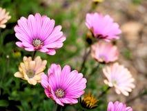 Primo piano dei fiori rosa con le foglie verdi nel giardino della farfalla a Santa Barbara California Obiettivo macro con bokeh p Immagini Stock Libere da Diritti