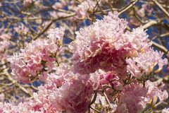 Primo piano dei fiori rosa dell'albero di tromba immagine stock