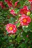 Primo piano dei fiori rosa-intenso della camelia sull'albero Fotografie Stock Libere da Diritti