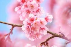 Primo piano dei fiori rosa sul ramo con cielo blu durante il ramo di fioritura della molla con i fiori di sakura e il backgrou ro Fotografia Stock