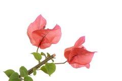 Primo piano dei fiori rossi della buganvillea Fotografia Stock