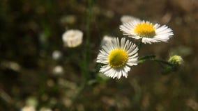 Primo piano dei fiori selvaggi della margherita in vento stock footage