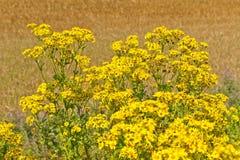 Primo piano dei fiori selvaggi gialli Fotografia Stock