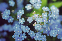 Primo piano dei fiori viola Immagini Stock Libere da Diritti
