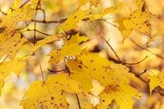 Primo piano dei fogli di autunno gialli Immagine Stock Libera da Diritti