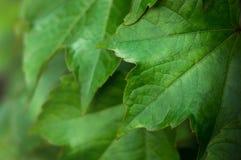 Primo piano dei fogli verdi freschi Fotografia Stock