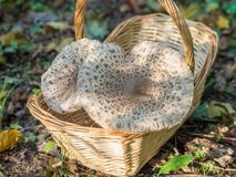 Primo piano dei funghi di parasole o della merce nel carrello commestibili raccolti di procera di macrolepiota all'aperto, Berlin Fotografie Stock