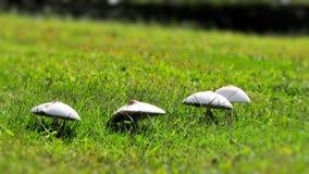 Primo piano dei funghi su erba verde Fotografia Stock Libera da Diritti