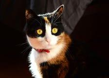 Primo piano dei gatti Immagini Stock