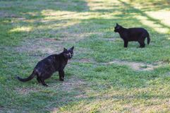 Primo piano dei gatti neri di bellezza Fotografia Stock