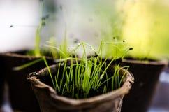 Primo piano dei germogli della erba cipollina Fotografia Stock Libera da Diritti