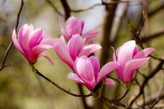 Primo piano dei germogli della magnolia Fotografia Stock
