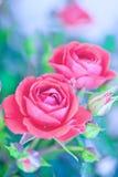 Primo piano dei germogli di rosa di colore rosa Fotografia Stock Libera da Diritti