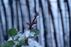 Rosa coperta di ghiaccio Immagini Stock Libere da Diritti
