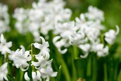 Primo piano dei giacinti bianchi soleggiati Fotografia Stock