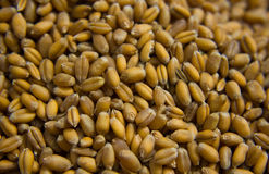 Primo piano dei grani di grano Immagini Stock Libere da Diritti