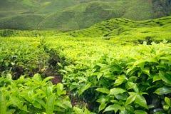 Primo piano dei leves e dei cespugli del tè alla piantagione di tè Fotografia Stock
