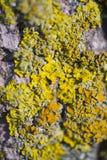 Primo piano dei licheni dell'albero fotografia stock libera da diritti