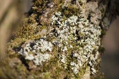 Primo piano dei licheni e del muschio su buccia del salice di crepa Fotografia Stock
