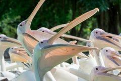 Primo piano dei lotti di grandi uccelli del pellicano bianco con le bocche aperte Fotografie Stock