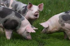 Primo piano dei maiali domestici quando pascono sul prato Fotografie Stock