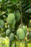 Primo piano dei manghi verdi che appendono sull'albero di mango immagine stock libera da diritti