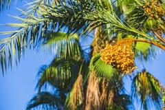 Primo piano dei mazzi colourful delle date Rami delle palme da datteri sotto cielo blu Fotografia Stock Libera da Diritti