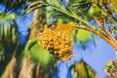 Primo piano dei mazzi colourful delle date Rami delle palme da datteri sotto cielo blu Fotografie Stock Libere da Diritti