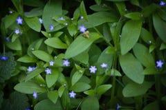 Primo piano dei nontiscordardime dei fiori Fotografie Stock