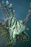 Primo piano dei pesci della Turchia Immagine Stock