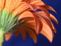 Primo piano dei petali della margherita del gerber Immagini Stock