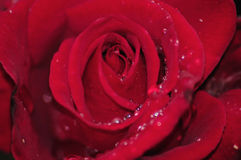 Primo piano dei petali di rosa Immagini Stock Libere da Diritti
