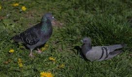 Primo piano dei piccioni che riposano sull'erba fotografia stock libera da diritti