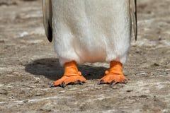 Primo piano dei piedi del pinguino di Gentoo Fotografia Stock
