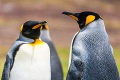 Primo piano dei pinguini di re Immagine Stock