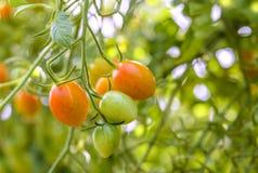 Primo piano dei pomodori crescenti dell'uva Fotografia Stock