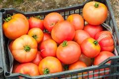 Primo piano dei pomodori maturi di eco appena raccolti Fotografia Stock Libera da Diritti