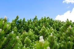 Primo piano dei rami di albero attillati verdi dell'abete con cielo blu su fondo Foresta attillata immagine stock libera da diritti