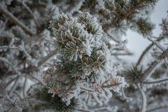 Primo piano dei rami innevati Aspetti per un messaggio dell'inverno fotografia stock