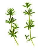 Primo piano dei ramoscelli dell'erba con le foglie verdi Fotografia Stock