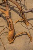 Primo piano dei ramoscelli torti sepolti nella sabbia di Paraty Mirim immagine stock